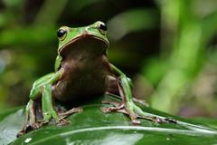 2J4A8094 (ajstone2548) Tags: 12月 樹蛙科 兩棲類 翡翠樹蛙