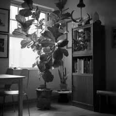untitled (kaumpphoto) Tags: rolleiflex 120 tlr bw black white interior fig tree books window table chair light skull glass plant lamp decore