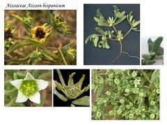 Aizoaceae Aizoon hispanicum