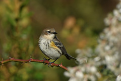 Yellow-rumped Warbler (myrtle) (explored 12/21/18) (jonathanirons28) Tags: yellowrumpledwarbler setophagacoronata bigwaterfarm yardbirding fallmigration fall2018 queenannesmd mbpqueenstownquad maryland mdbirding mywa splitem october 2018 nikon d500 explored