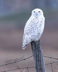 Snowy Owl (Bill McDonald 2016) Tags: snowy owl snowyowl post winter ontario wwwtekfxca grefellweeblycom perched perching fence december 2018 canada ngc