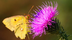 Smoothie On The Straw (Marija Mimica) Tags: colors butterflies flower floralfantasy