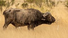 Amboseli-4107.jpg (ovg2012) Tags: africa safari amboselinationalpark nature travelphotographer capebuffalo canon büffel synceruscaffer animal kaffernbüffel wildlifephotography wildlifephoto wild wildlife reisefotografie kenya kenia afrika amboseli