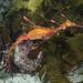 Weedy 9 Phyllopteryx taeniolatus