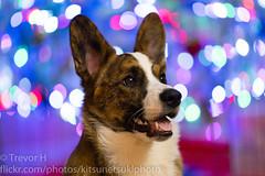 Christmas Corgi 1 (Kenjis9965) Tags: sonya7iii sony 70200mm f28 gm sony70200mmf28gm g master christmas corgis holiday festive sitting pretty posing adorable doggos puppers puppies fluffy blue merle brindle dog pet