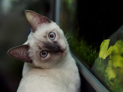 PB030588 (Vladimir V. Samoylov) Tags: 75mm animals cat e5markii mzuiko75mmf18 m43 micro43 microfourthirdsmicro43 olympus olympusm75mmf18 omd μ43