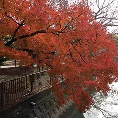 紅葉 (eyawlk60) Tags: momiji kayede park walking winter 晩秋 散歩道 公園 秋 紅葉