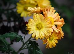 yellow chrysanthemums (Christine_S.) Tags: kiku canon eos mirrorless m5 japan flower flowers nature garden outdoor fall autumn