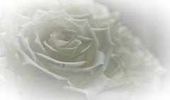 White on White (wilma HW61) Tags: whiteonwhite macromondays macro wit white soft doff dull roos rose rosa blanc bianco nederland niederlande netherlands nikond90 wilmahw61 wilmawesterhoud holland holanda paysbas paesibassi paísesbajos europa europe detail details hmm mm highkey