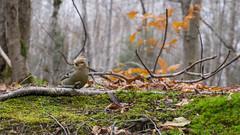 Durbec des sapins - Pine Grosbeak,  Quebec - Canada - 8265 (rivai56) Tags: durbec des pins feuilles à lautomne durbecdessapins pinegrosbeak quebeccanada oiseau bird