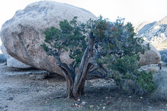 untitled (90 of 125).jpg (xen riggs) Tags: desert california joshuatreenationalpark february2018