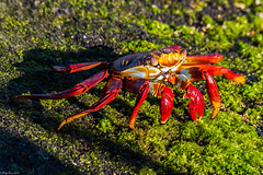 Colorful fellow dining at the algae bar (Fred Roe) Tags: nikond810 nikkorafs80400mmf4556ged nature wildlife crab crustacean sallylightfootcrab grapsusgrapsus galapagos