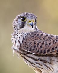 Kestrel (peterspencer49) Tags: peterspencer peterspencer49 kestrel bird birdofprey raptor southwest somerset