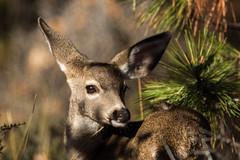 Black-tailed Deer (Odocoileus hemionus columbianus) (Brown Acres Mark) Tags: blacktaileddeer odocoileushemionuscolumbianus doe firstfalldoe cascademountains jacksoncounty oregon usa markheatherington
