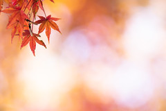 at another dimension (hitohira_) Tags: flower flowers nature bokeh leaves maple