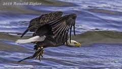 Bald Eagle with fish IMG_3282 (ronzigler) Tags: baldeagle raptor birdofprey bird nature wildlife birdwatcher
