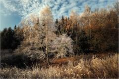 Schäfchenwolken (linke64) Tags: thüringen deutschland germany natur landschaft bäume baum wald wolken rahmen reif himmel birke birken wolkenhimmel schäfchenwolken