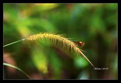 Flora and Fauna (VERODAR) Tags: butterfly grass weed lalang sunlight evening nature natureandwildlife nationalpark nikon verodar veronicasridar