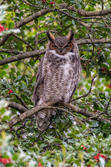 Great Horned Owl - Bubo virginianus | 2019 - 2 (RGL_Photography) Tags: birding birds birdsofprey birdwatching bubovirginianus familystrigidae greathornedowl mothernature nature nikonafs600mmf4gedvr nikond5 ornithology owls raptor strigiformes us unitedstates wildlife wildlifephotography ©2019rglphotography