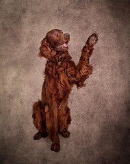 Dylans Haircut (Chris Willis 10) Tags: dylan dog redsetter studio pets animal canine brown purebreddog domesticanimals puppy cute looking irishsetter mammal studioshot oneanimal sitting nopeople cockerspaniel friendship portrait paw please