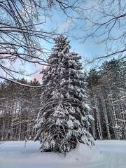 Snowy Spruce (Scottb211) Tags: winter tree polarvortex gaylord gaylordmi upnorth northernmichigan