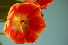 Still Giving Thanks (San Francisco Gal) Tags: tulip flower fleur bloom blossom macro orange