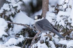 Mésangeai du Canada / Gray Jay (Pierre Lemieux) Tags: mésangeaiducanada grayjay forêtmontmorency québec canada can hiver winter snow neige