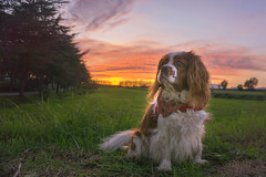 What does the Sun smell like when it goes down?// A qué huele el Sol cuando atardece? (Mireia B. L.) Tags: dog cavalierkingcharlesspaniel cavalierkingcharles sunset atardecer sunsetcolours colours landscape
