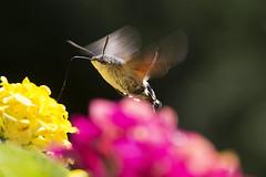 Taubenschwänzchen beim Schlemmen - Butterfly Hummingbird  while feasting (heinrich.hehl) Tags: natur fauna schmetterling taubenschwänzchen geranien nature butterfly hummingbird geraniums