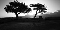 Fake twins (Michel Couprie) Tags: europe france corse corsica calvi tree trees arbre arbres bw blackandwhite nb noiretblanc silhouette backlight sunrise leverdesoleil canon eos couprie composition