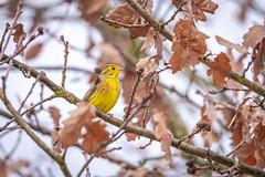 Bruant Jaune (ea_photographie) Tags: oiseau bird nature wild wildlife arbre