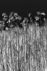 reed (m_laRs_k) Tags: sliderssunday hss lightroomed reed d7000 nikon dslr 1750 23 bw monochrome noire mannheim germany park luisenpark outdoors sigma mlarsk