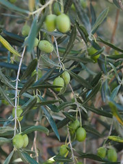 Olive on Olive Tree Farming Agriculture Spain Andalusia © Olive am Olivenbaum Landwirtschaft Spanien Andalusien © Aceituna Andalucía © (hn.) Tags: provinciadecordoba sierradehorconera priegodecordoba southofpriegodecordobatown sierradejaula sierrahorconera spain europe andalusia andalucia spanien eu europa andalusien heiconeumeyer copyright copyrighted tp2018anda es españa baum tree pflanze plant nature natur árbol fruit anbau landwirtschaft agriculture campo olivenbaum frucht ölbaum oleaeuropaea olive aceituna olivegrove olivetree olivo aceituno sierrassubbéticas parquenaturaldesierrassubbéticas parquenatural sierra sierras subbéticas subbética naturpark