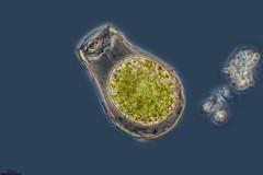 EL SUEÑO FRÍO DE UNA AMEBA, HYALOSPHENIA, TURBERAS DE PEÑA YERRE (PROYECTO AGUA** /** WATER PROJECT) Tags: taxonomy:kingdom=protist taxonomy:phylum=protozoa taxonomy:class=lobosa taxonomy:order=arcellinida taxonomy:genus=hyalosphenia taxonomy:binomial=hyalospheniapapilio taxonomy:species=papilio larioja villosladadecameros turberasdepeñayerre turberas rizópodo españa spain proyectoagua pondlife microscopy iesescultordaniel antonioguillén fotografíamicroscópica microfotografía microscopio microphotography vidaocultadelagua microorganismos fotografíasmicroscópicas photomicrography imágenesmicroscópicas vidaoculta lavidaocultadelagua thelifehiddenofthewater