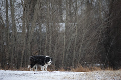 Ol' Maggie (silver_ring) Tags: dog senior old country winter snow