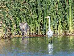 Great Egret and Friend (Ed Sivon) Tags: america canon nature lasvegas wildlife wild western water white southwest egret desert coyote vegas flickr bird henderson nevada park