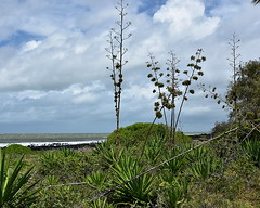 Yucca (Dreaming of the Sea) Tags: clouds bluesky tamronsp2470mmf28divcusd bundaberg burnettheads greenleaves greengrass rocks sea outdoor ocean white waves water plant 2018
