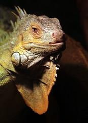 groene leguaan Ouwehands 094A0726 (j.a.kok) Tags: reptiel reptile leguaan groeneleguaan ouwehands dier animal