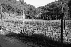 Liguria (fabiolug) Tags: allotment agriculture vegetables countryside lines line shapes light shadow shadows poles sticks trees tree nature liguria ligury italy italia leicammonochrom mmonochrom monochrom leicamonochrom leica leicam rangefinder blackandwhite blackwhite bw monochrome biancoenero voigtlandernoktonclassic35mmf14 voigtlandernokton35mmf14 voigtlander35mmf14 35mm voigtlander