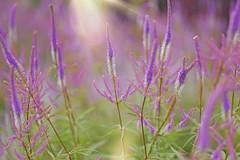 Remembering Summer... (KissThePixel) Tags: summer meadow summermeadow light sunlight sunbeam mauve purple purpleflower flower meadowflowers garden nikon macro makro nature closeup bokeh bokehlicious depthoffield dof dofalicious dreamy pastel soft nikond750 85mm 14 f14