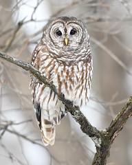 Barred Owl (jrlarson67) Tags: barred owl raptor bird portrait goldenhour wisconsin