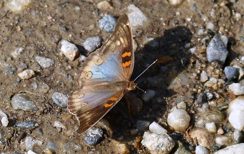 Junonia divaricata aberration P1320165