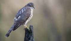 Eurasian Sparrowhawk - Sperwer (Wim Boon Fotografie) Tags: sperwer canoneos5dmarkiii vogel vogelhut alblasserwaard holland nederland netherlands natuur nature bird birds canonef400mmf56lusm