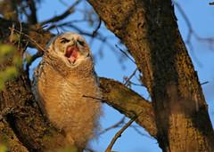 Great Horned Owlet...#4 (the big yawn). (Guy Lichter Photography - 4.4M views Thank you) Tags: canon 5d3 canada manitoba winnipeg wildlife animal animals bird birds owl owls greathornedowl owlet