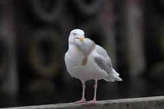 Optimism ! (Chris B@rlow) Tags: larushyperboreus gull gulls glaucousgull iceland bird birds nature wildlife canon sigma olafsvik
