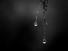 The Last Drops (wowafo) Tags: makro macro nature natur tropfen drops raindrops regentropfen natureart sony alpha 6000 blackwhite monochrome