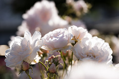 Rose 'Felicia' raised in UK (naruo0720) Tags: rose felicia englishrosescollection englishrose バラ イギリスのバラ フェリシア イギリスのバラコレクション nikonscamera sigmalenses d810 sigma105mmf28exdgoshsm