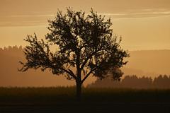 applesGone (tobias-eger) Tags: schwarzwald natur baum sonnenaufgang rot landschaft blackforest nature landscape tree red germany sunrise morning
