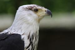 IMG_1489 (Stefan Kusinski) Tags: hemsley duncombe ncbp birdofprey