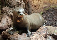 Pretty Giant Otter (Schwanzus_Longus) Tags: duisburg zoo german germany animal mammal south america american amazon giant river otter lobo del rio